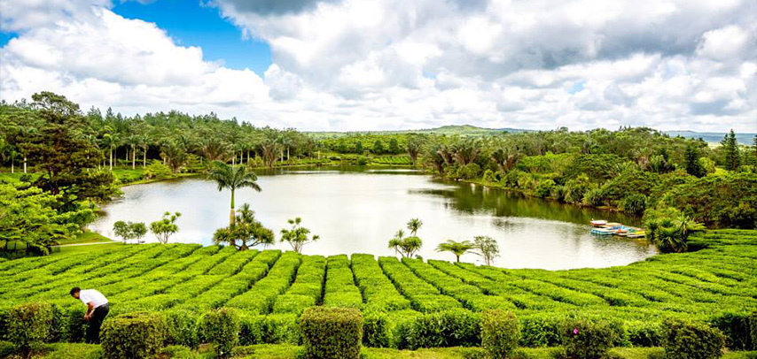 Visit the Tea Routes of Mauritius